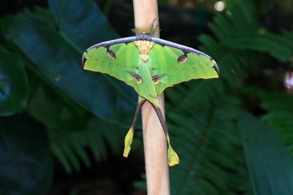 IMG_0835 Luna Moth