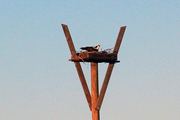 IMG_6474 osprey