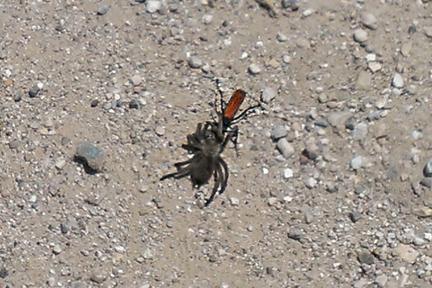 Tarantula Hawk IMAG0192