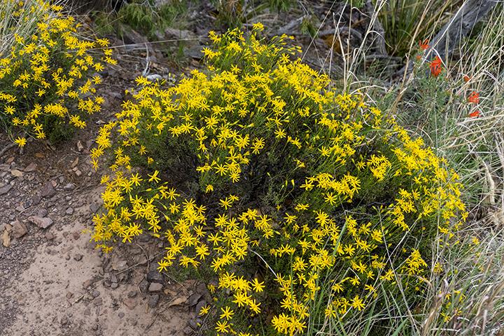 P1030775 Chrysactinia mexicana
