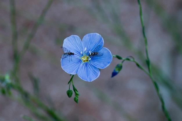 P1030831 Blue Flax