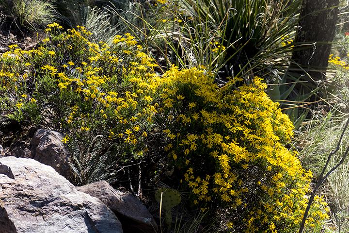P1030841 Chrysactinia mexicana