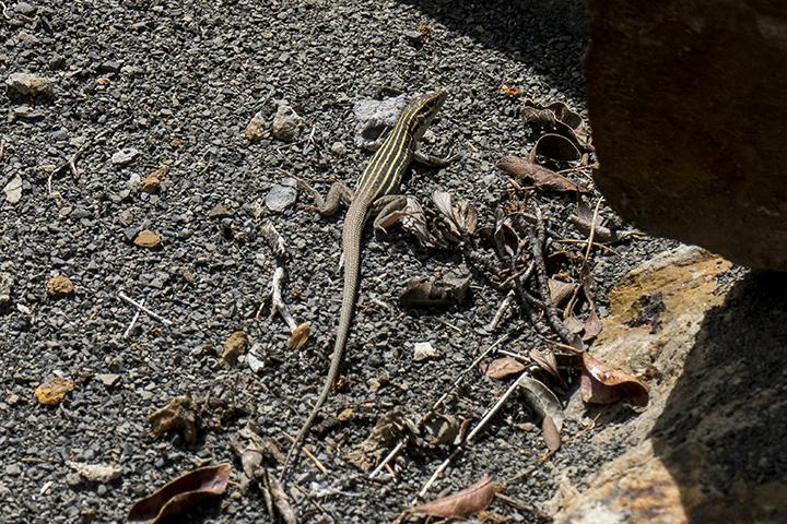 P1080160 Lizard