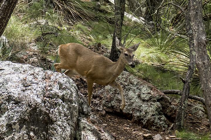 P1080189 Deer Chisos