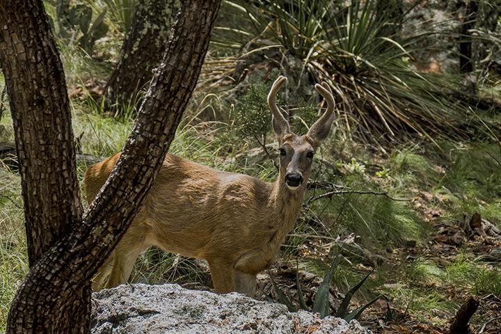 P1080200 Deer Chisos