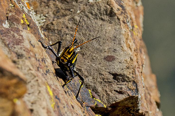 P1080256 Grasshopper