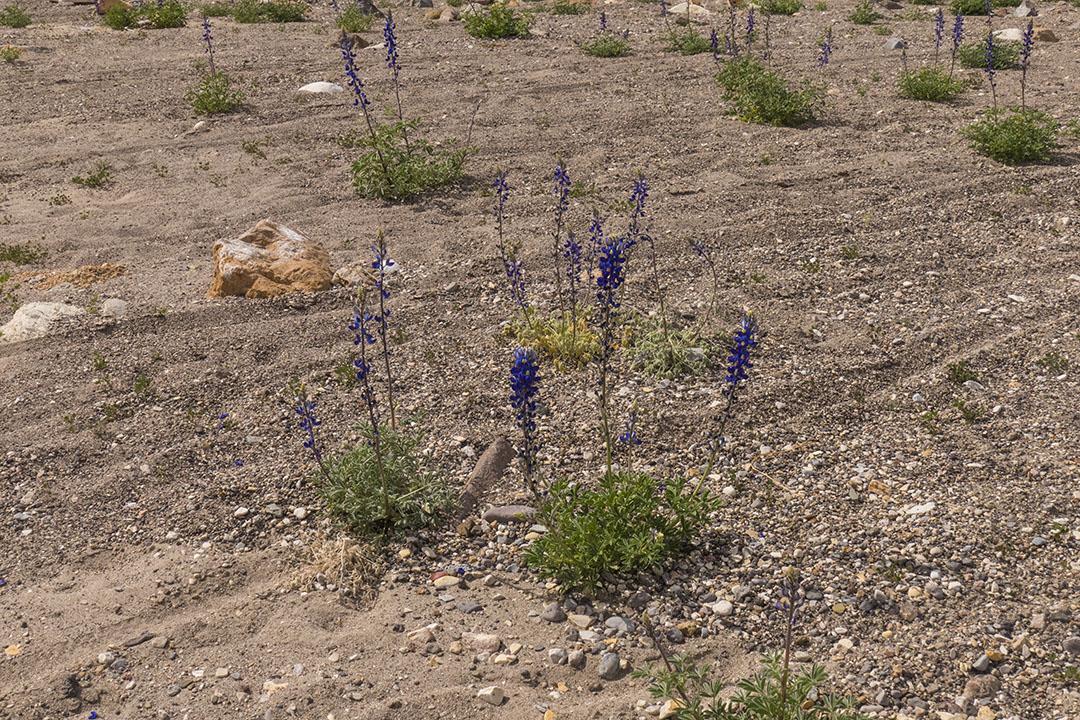 P1100819 bluebonnets flowers