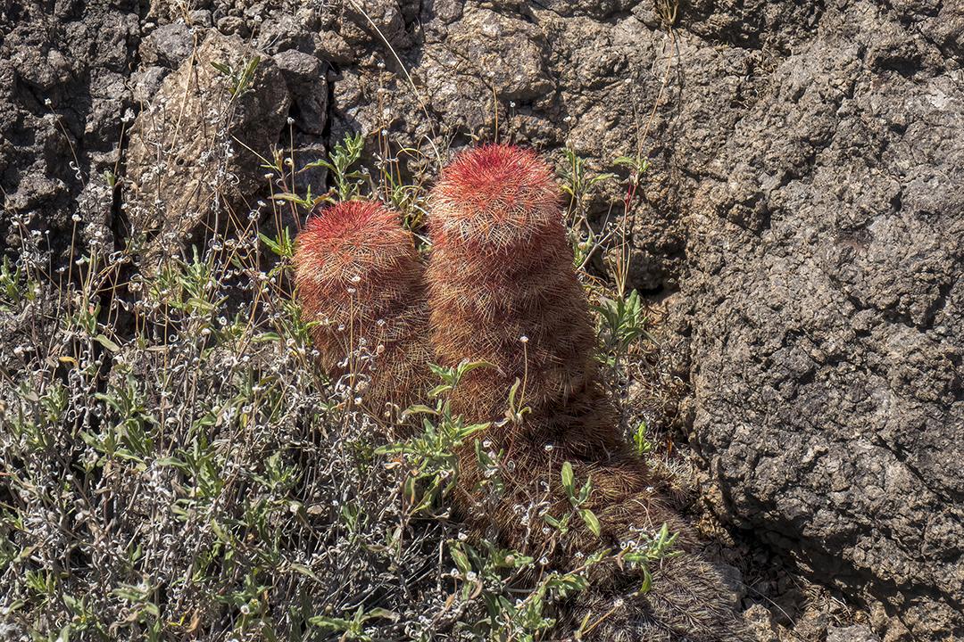 P1100888 cactus