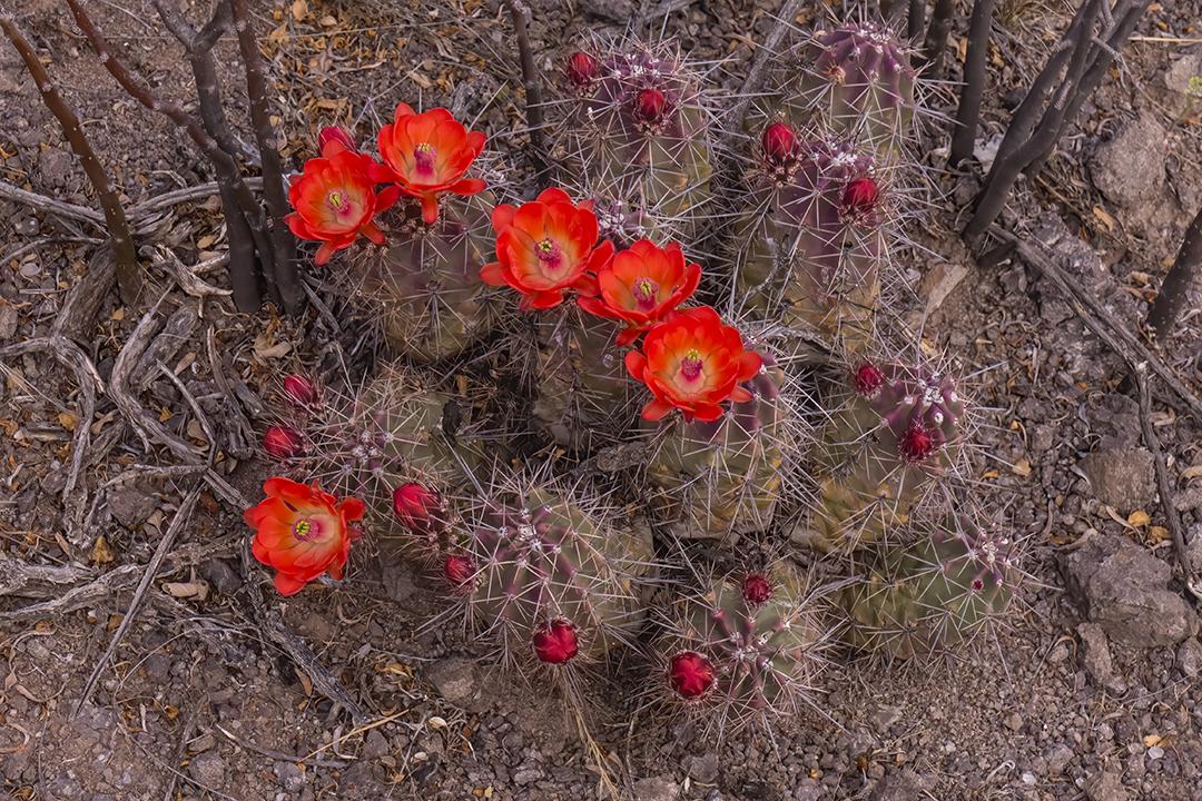 P1110077 flowers cactus