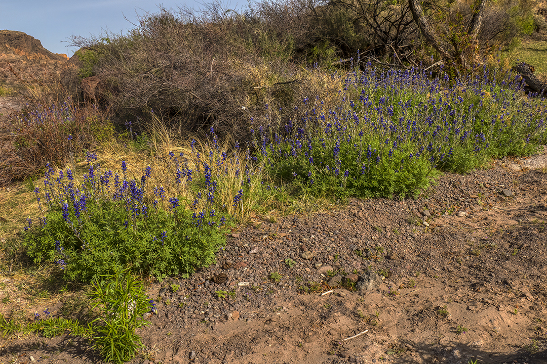 P1110322 flowers bluebonnets
