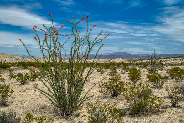 IMG_6965 ocotillo cactus