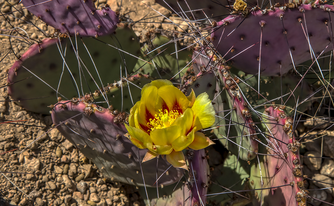 IMG_6982 flowers purple prickly pear